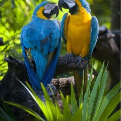 two blue- and- yellow macaws perched in a branch.
